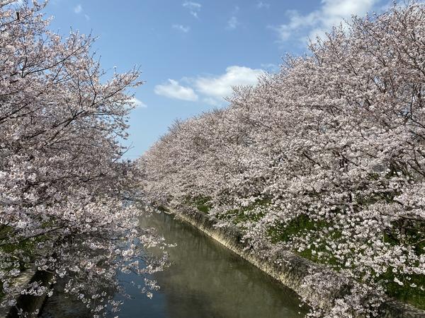桜、満開! -大牟田市荒尾市の不動産売買専門-