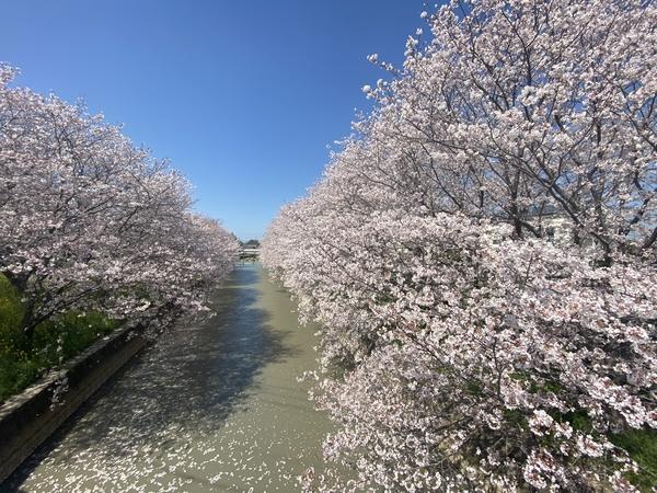 大牟田、桜の名所。 -大牟田市荒尾市の不動産売買専門-